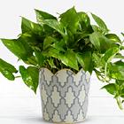 Golden Pothos Tabletop Plant