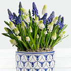 Blue and White Muscari Bulb Garden