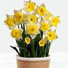 Daffodil Attraction Bulb Garden