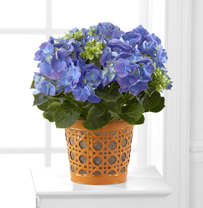 - Blue Beauty Hydrangea in Basket
