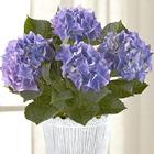 FTD® Vintage Beauty Hydrangea Plant