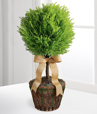 - New Heights Lemon Cypress Topiary