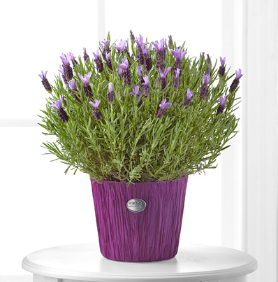 - FTD® Soothing Lavender Plant