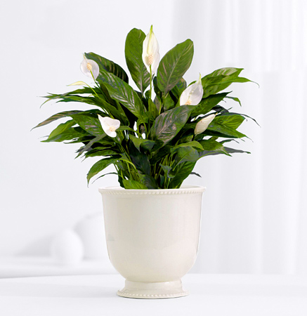 Serene Peace Lily Plant