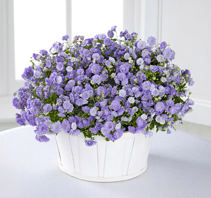 - Essence of Spring Campanula Plant
