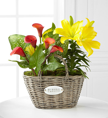 - Harvest Skies Calla & Asiatic Lily Plant Duo