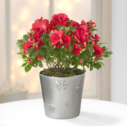 - Snowflake's Flight Holiday Azalea Plant