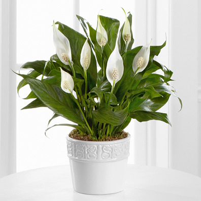 Calming Grace Peace Lily Plant - 4.5 Inch