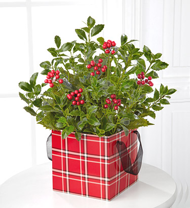 - FTD� Berried Bliss Holly Plant