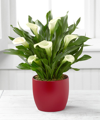 - FTD� Starbright Holiday Calla Lily