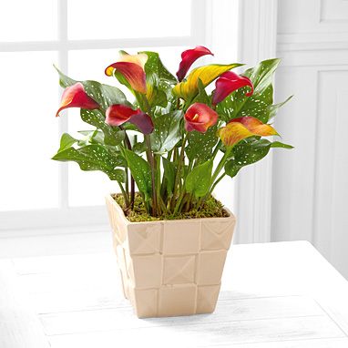 - FTD� Harvest Daydreams Calla Lily Plant