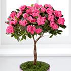 FTD� Heart's Opening Azalea Topiary