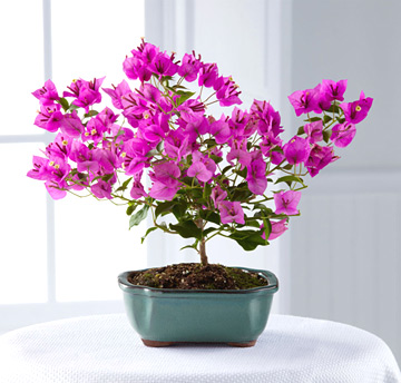 - FTD Rare Beauty Bonsai