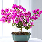 FTD Rare Beauty Bonsai
