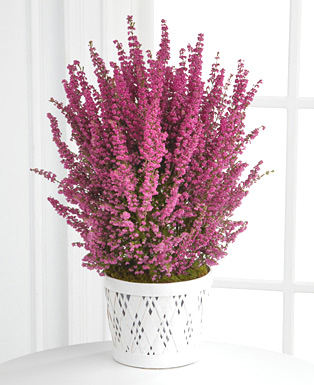 - Spring Heather Plant by Better Homes & Gardens�