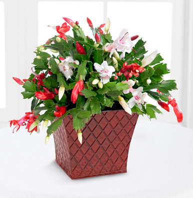 - FTD® Peppermint Perfection Christmas Cactus
