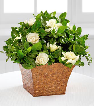 - Serene Settings Mini Gardenia - 4.5 Inch