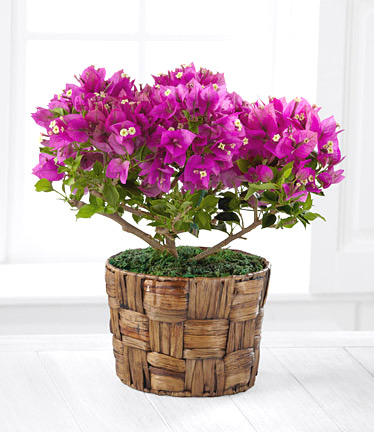 - FTD� Flowering Bougainvillea Plant - 6 Inch