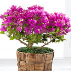 FTD� Flowering Bougainvillea Plant - 6 Inch