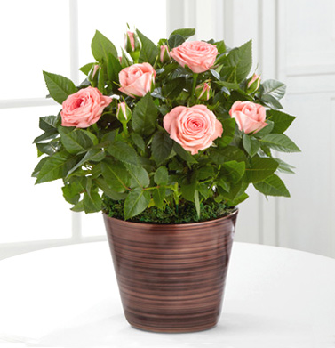 - FTD� Sweet Beauty Mini Rose Plant