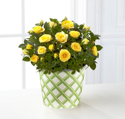 - FTD® Sunshine Spirit 6-Inch Rose Plant