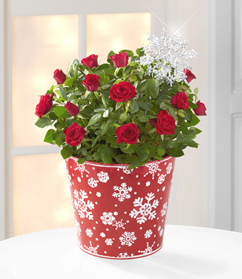 Snowfall Celebration Mini Rose - 6.5-Inches