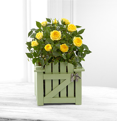 - Garden Gate Mini Rose Plant