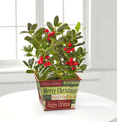 - Happy Holly Days Plant Gift