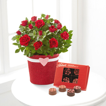 - Romantic Intentions Mini Rose Plant & Chocolates