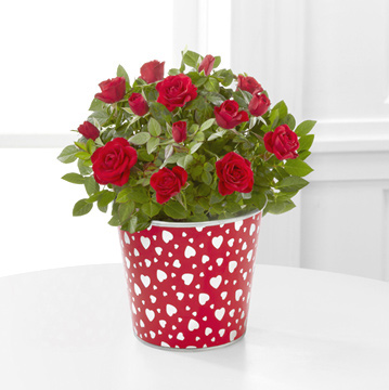 - Love's Treasures Valentines Day Mini Rose Plant