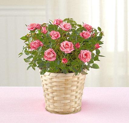 Mother S Day Mini Rose Plant